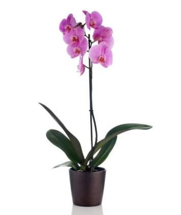 Vazoninė gėlė Orchidėja Phalaenopsis